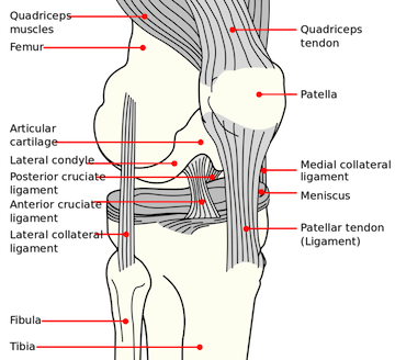 knee diagram see page for author [public domain], via wikimedia commons