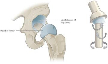 Human Skeletal System Joints