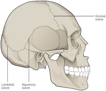 immobile or virtually immobile suture joints of the human skull from bc  open textbooks