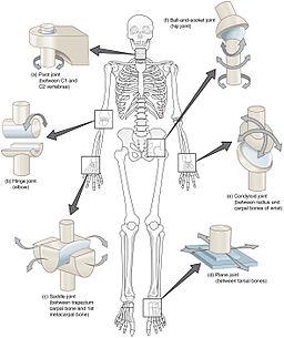 human skeletal system, Human Body